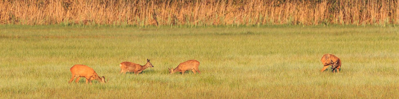 Roe Deer, Deer, Family, Wild, Nature Conservation