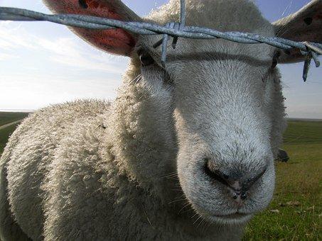 Sheep, Barbed Wire, Portrait, Animal, Pasture, Quiet