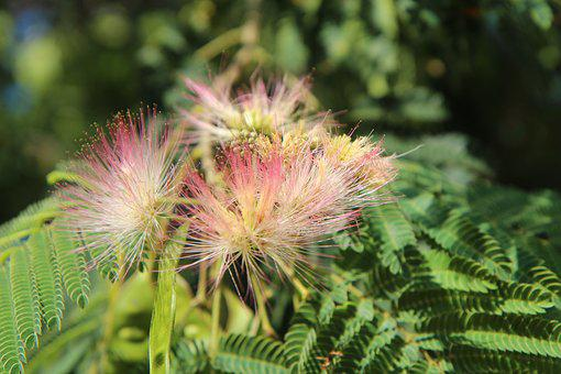 Silk Tree, Mimosa Of Constantinople, Shrub, Flowering