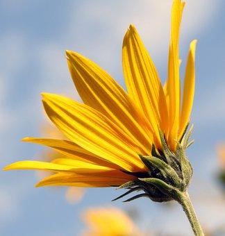 Słoneczniczka, Yellow Flower, Closeup, Blooming, Plant