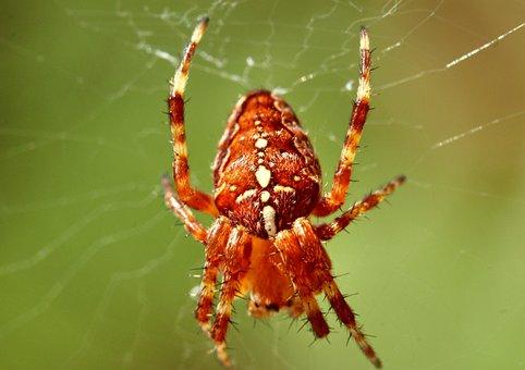 Araneus, Spider, Cobweb, Close Up, Macro, Web, Arachnid