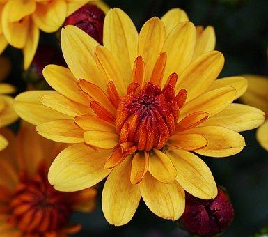 Autumn Chrysanthemum, Blossom, Bloom, Star, Multi-layer