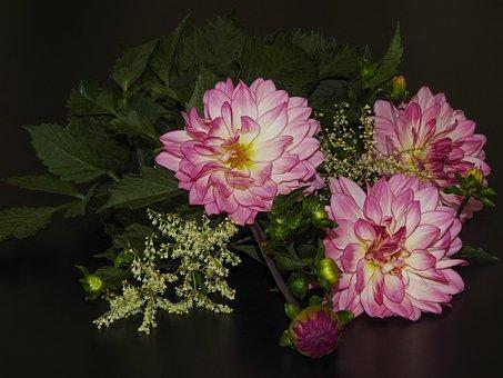 Three Dahlen Flowers, Pink, Leaves, Still Life