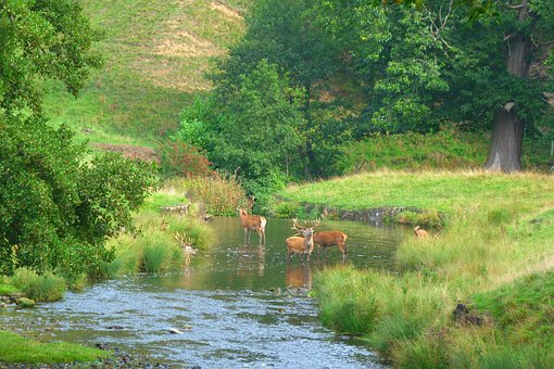 Yorkshire, Deer, Stream, Herd, Nature, Park