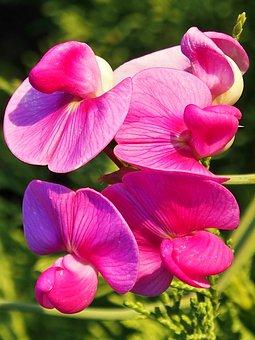 Vetches, Pink, Climber Plant, Flowers, Summer, Garden