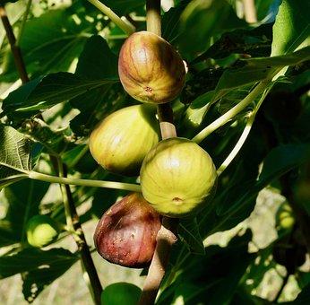 Figs, Ripe, Food, Sweet, Fruits, Fruit, Eat, Nature