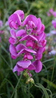 Sweetpea Flower, Pink, Sweetpea, Decorative, Colourful