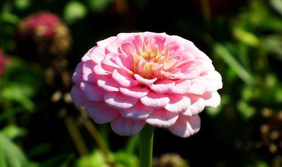 Flower, Zinnia, Pink, Nature, Summer, The Petals, Macro