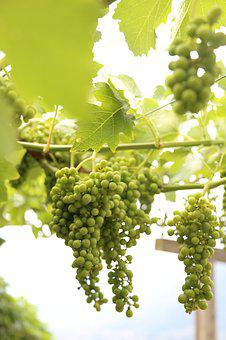 Grapes, South Tyrol, Wine, Nature, Vine, Fruit