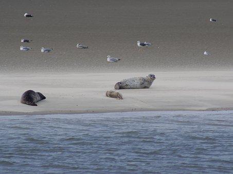 North Sea, Seals, Crawl, Meeresbewohner, Water Creature
