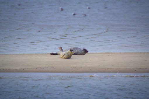 Seals, Sandbar, East Frisia, Watts, North Sea, Schlick