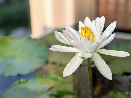 Lotus, Delightful, 潔 Net, White