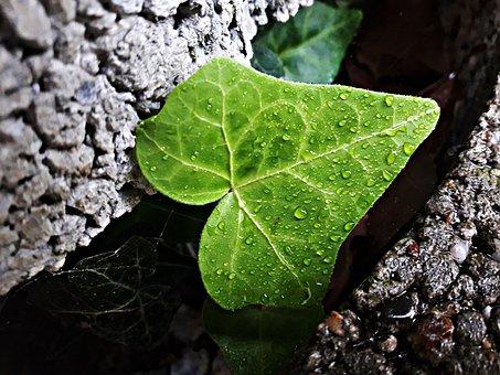 Leaf, Ivy, Green, Spring, Wild, Foliage, Plant