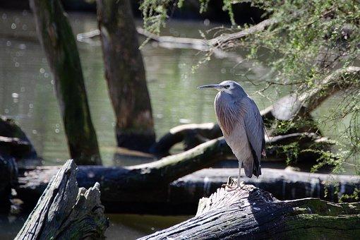 Heron, White-faced Heron, Bird, Wildlife