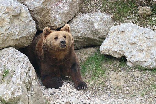 Bear, Curious, Hollow, Wildlife Park