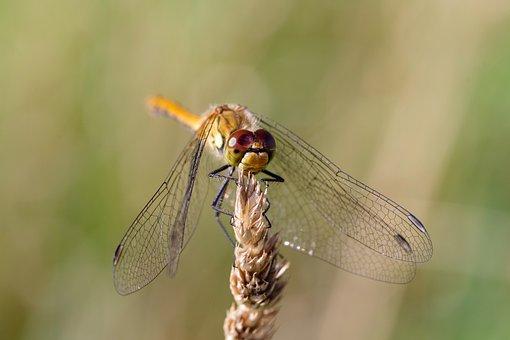 Ważka, Insect, Dwuskrzydły, Dragonflies, Wing, Green