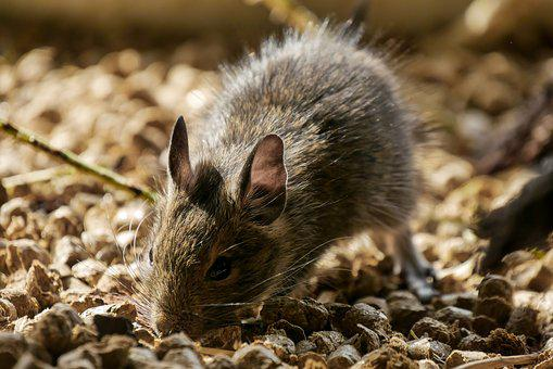 Animals, Degu, Rodent, Wore Rat, Ears, Mouse, Nager