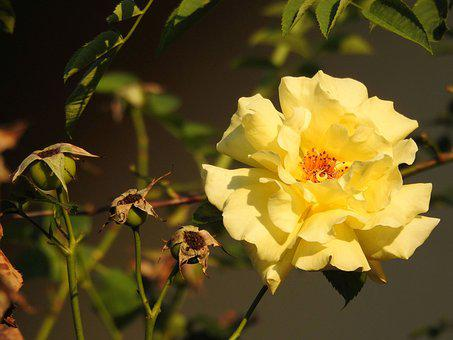 Rose, Blossom, Bloom, Yellow, Close Up, Plant, Garden