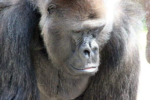 Gorilla, Ape, Strength, Animal, Zoo, Thoughtful, Lonely