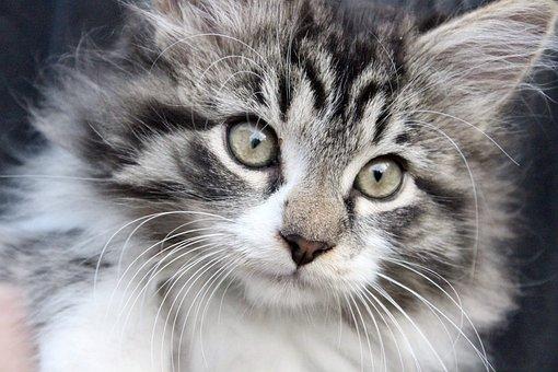 Animals, Kitten, Feline, Cat, Cute, Adorable, Hairy