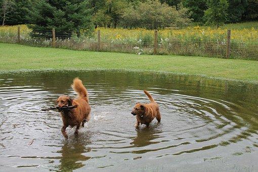 Dogs, Pond, Water, Animal, Pet, Summer, Fun, Wet, Swim