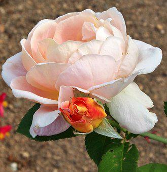 Rose, Blossom, Bloom, Bud, Summer, Apricot