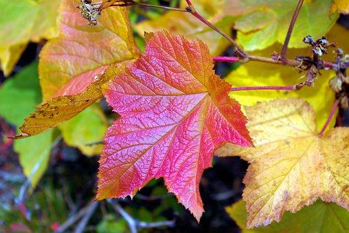 Autumn Teton Thimbleberry, Thimbleberry, Autumn, Leaf