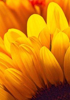 Sunflower, Petals, Yellow, Bright, Golden, Background