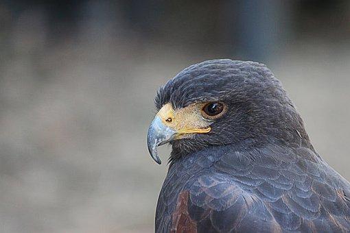 Falcon, Big Hawk, Raptor, Bird Of Prey