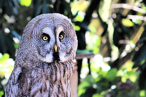 Kautz, Owl, Bird, Bird Of Prey, Nocturnal