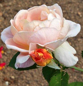 Rose, Blossom, Bloom, Bud, Summer, Apricot