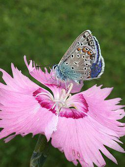 Butterfly, Common Blue, Nature, Animal