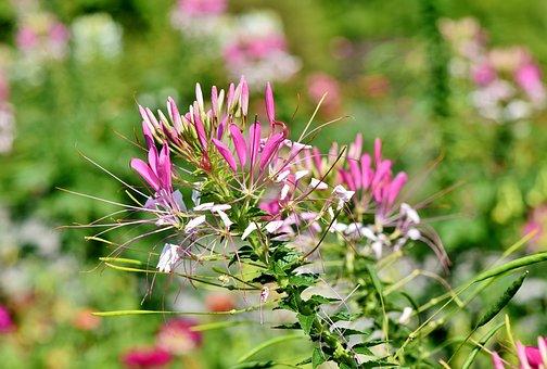 Spider Flower, Flower, Spider Plant, Cleomaceae