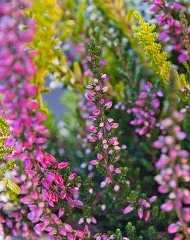 Heide, Erika, Close Up, Pink, Heather, Autumn, Nature