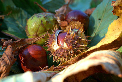 Autumn, Chestnut, Leaf, Prickly, Decoration, Brown