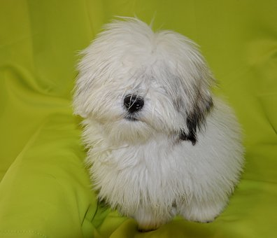Dog, Dog Coton De Tulear, Dog Storm Blue, Young Puppy