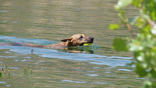 Dog Swimming, Dog, Water, Swimming, Tennis Ball, Fetch