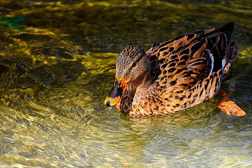 Mallard, Duck, Bird, Nature, Plumage, Poultry, Ducks