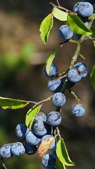 Nature, Hedge, Edge Of The Woods, Berry Blue, Sloes