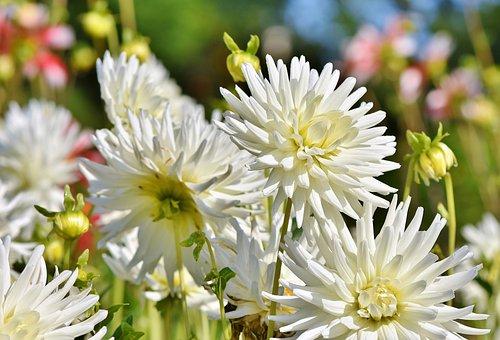 Dahlia, Dahlias Bud, Flower, Bud, Dahlia Garden