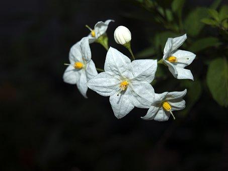 Flower Star, Flowers, Star, White Flower, Flowering
