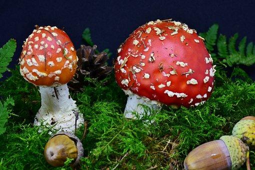 Fly Agaric, Mushroom, Red Fly Agaric Mushroom, Toxic