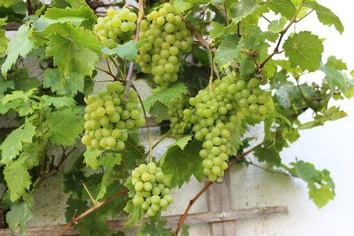 Wine, Vines, In The North, Baltic Sea Coast, Fruit