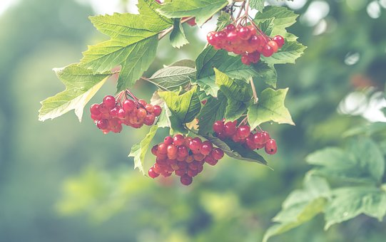 Red, Berries, Garden, Background, Plants, Colors