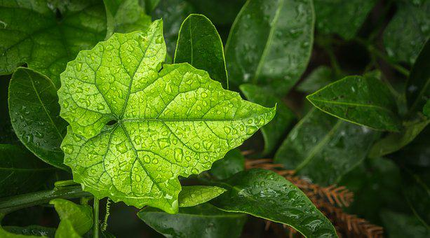 Leaf, Plants, Nature, Green, The Leaves, Wet, Dew