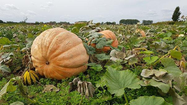 Pumpkins, Pompoenenveld, Harvest, Autumn, Ripe, Growth