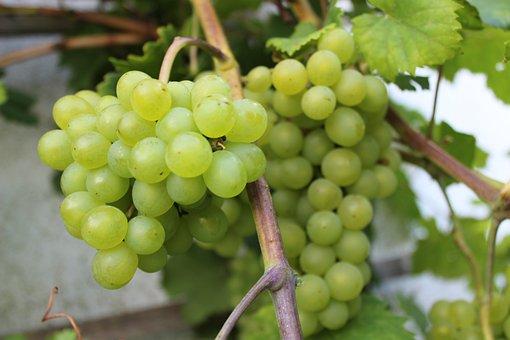 Wine, Grapes, In The North, Baltic Sea Coast, Vine