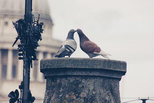 Lovebirds, Pigeons, Pair, Love For Animals, Nature