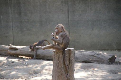 Zoo, Monkey, Mammal, Animals, Nature, Gorilla, Fur