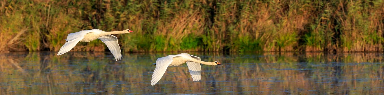 Swan, Mute Swan, Flight, Nature Conservation